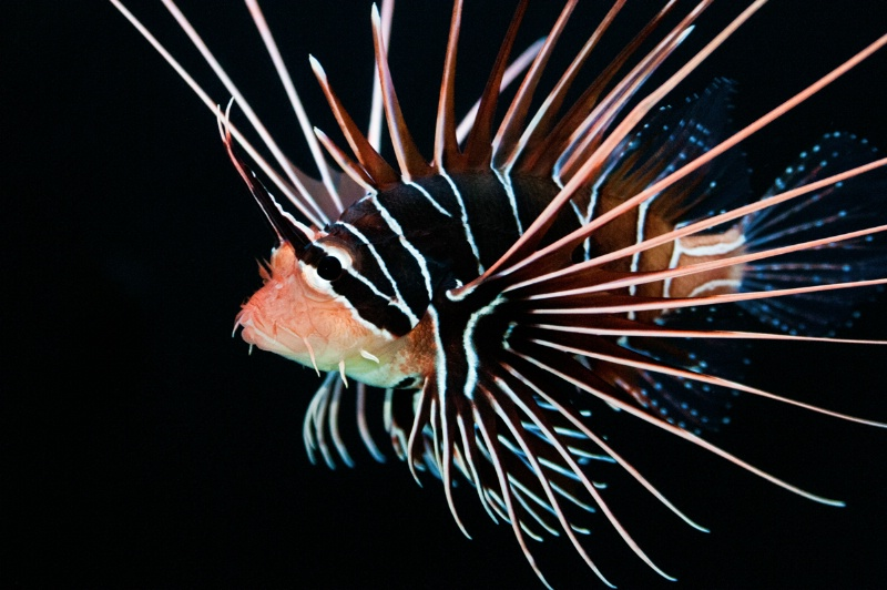 Clearfin Lionfish #2