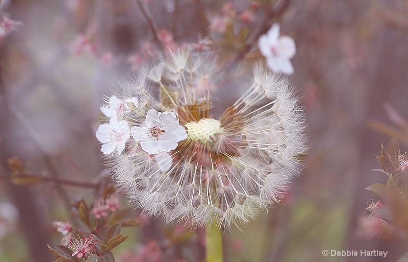 Dandelion and Blossom