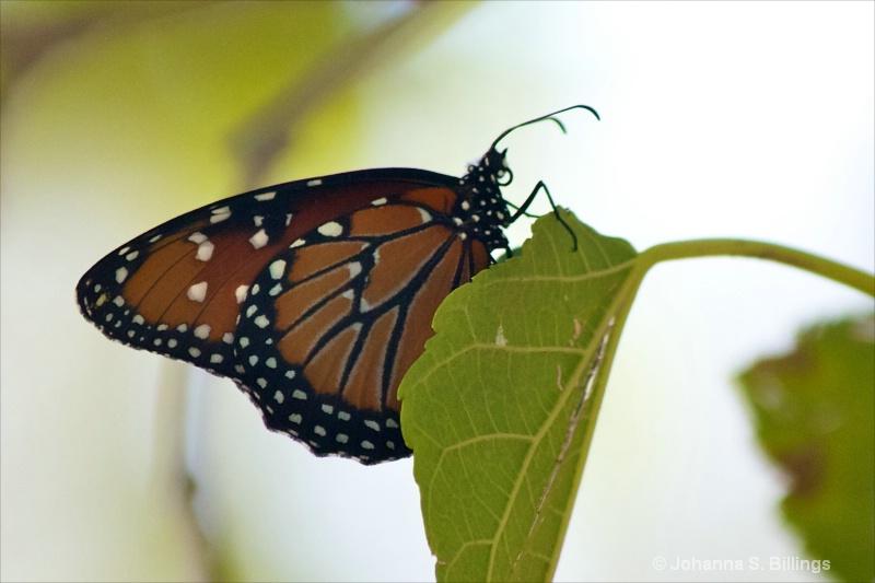 Butterflies of Arizona - Queen