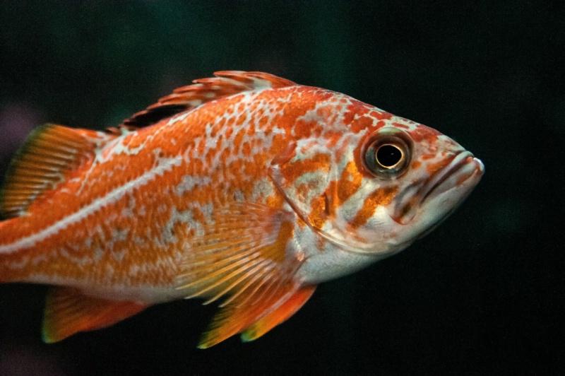 Seattle Orange Fish