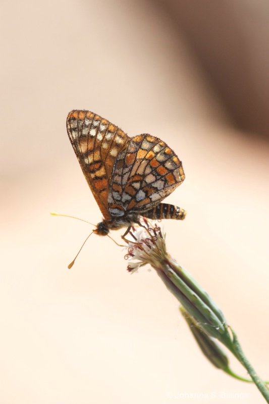 Butterflies of Arizona - Checkerspot