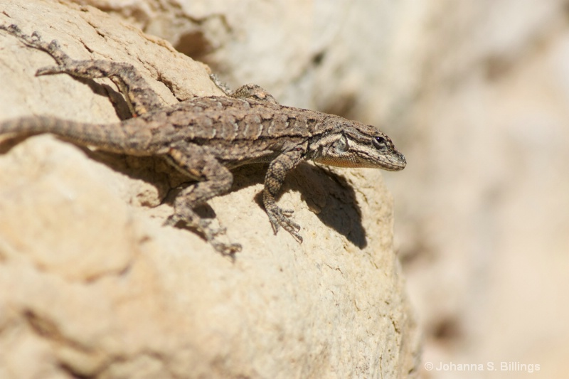 Friday Lizard