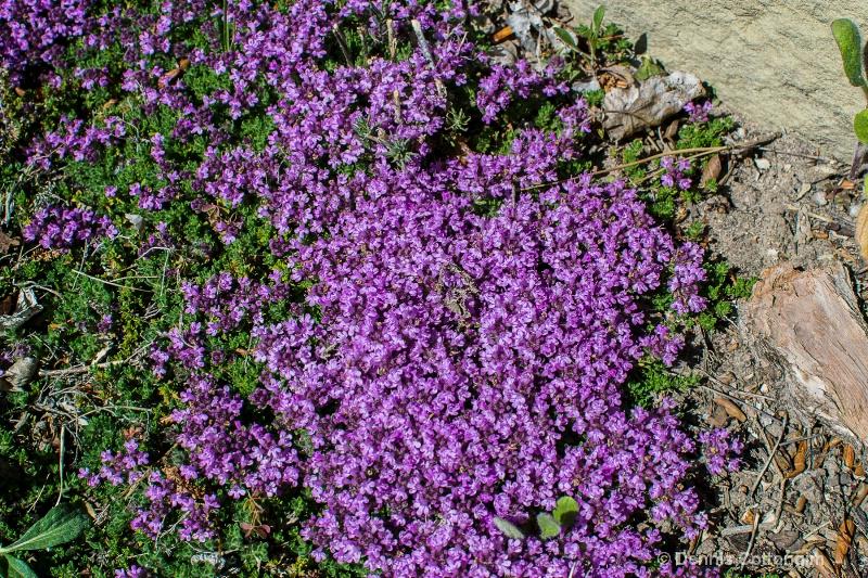 Creeping thyme (Thymus serphyllum)