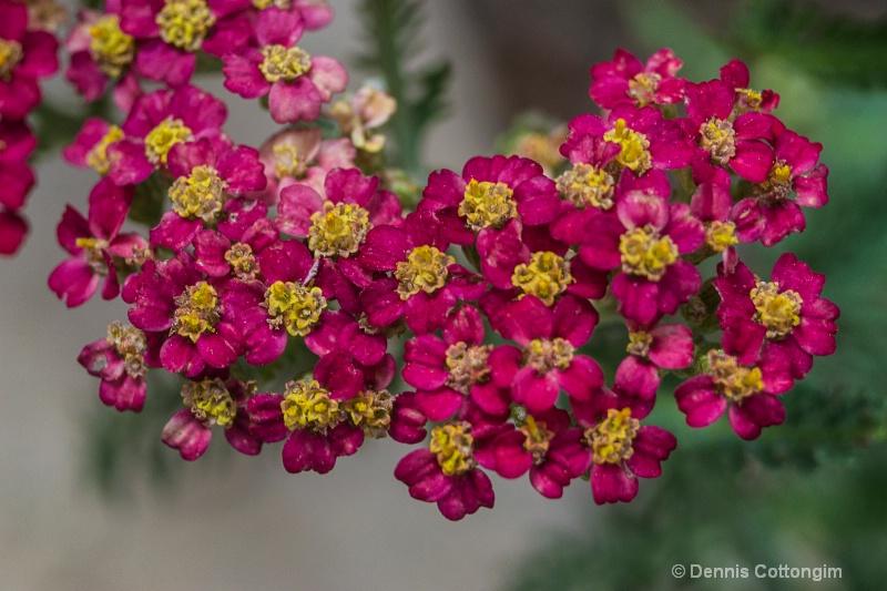 Yarrow (Achillea millefolium cv.)