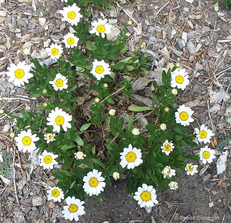 Shasta daisy (Leucanthemum cv.)