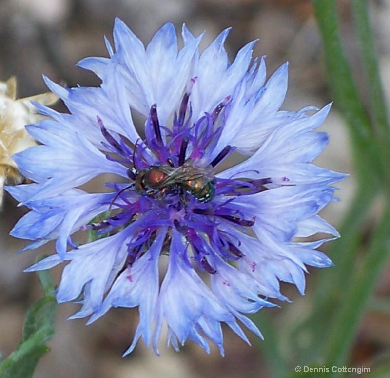 Bachelor Button (Centaurea cyanus)