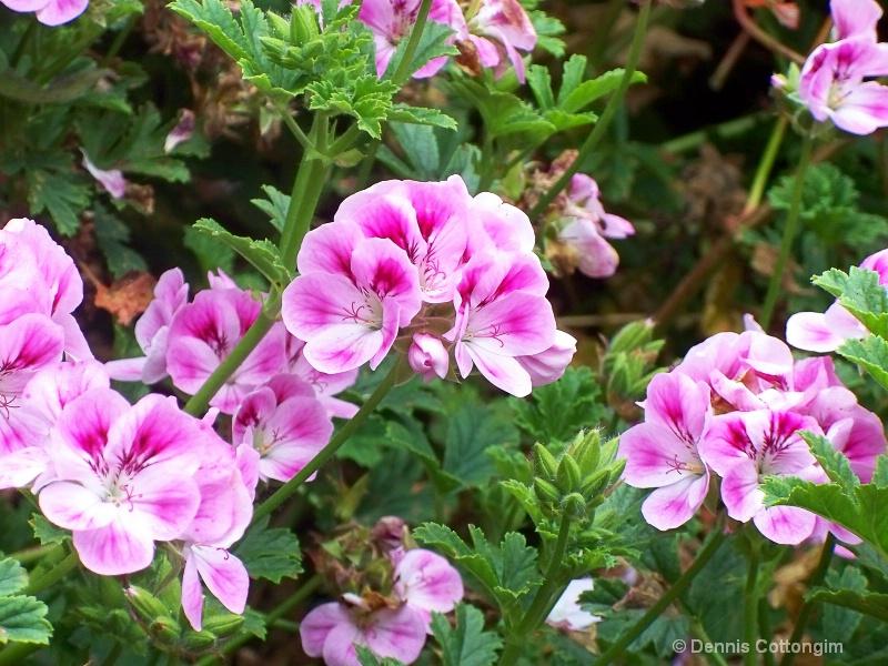 Geranium (Pelargonium cv.)