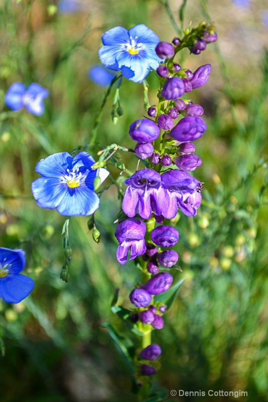 Blue flax (Linum perenne) and penstemon
