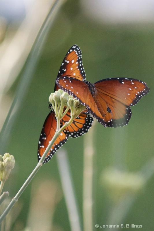Butterflies of Arizona - Queens