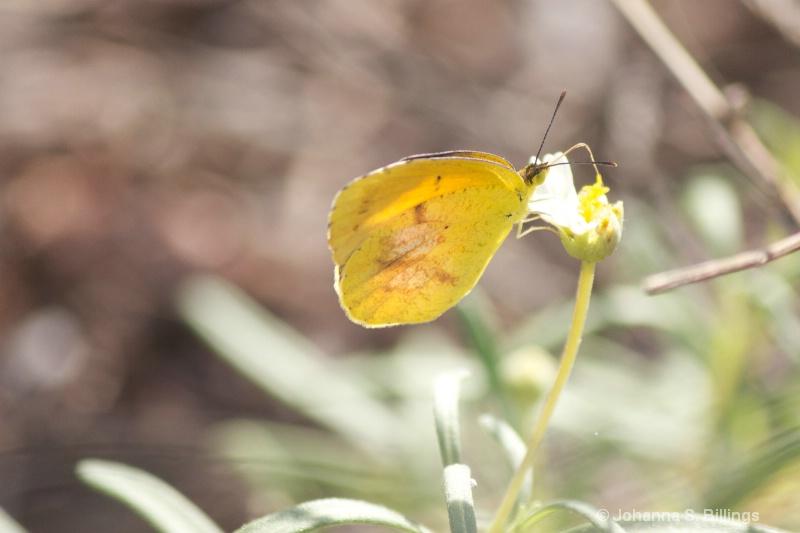 Butterflies of Arizona - Sleepy Orange