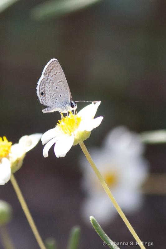 Butterflies of Arizona - Gossamer Wing