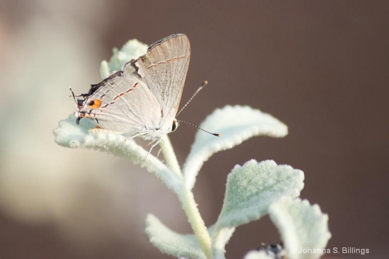 Butterflies of Arizona - Gray Hairstreak