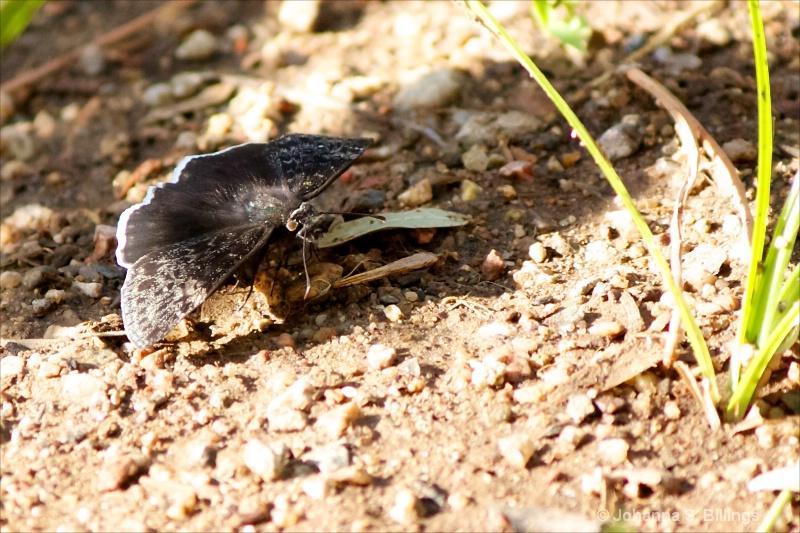 Butterflies of Arizona - Funeral Duskywing