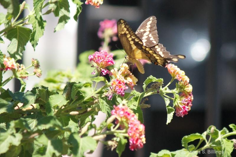 Butterflies of Arizona - Giant Swallowtail