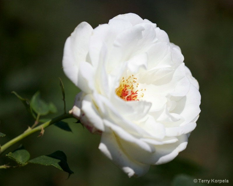 a nice rose