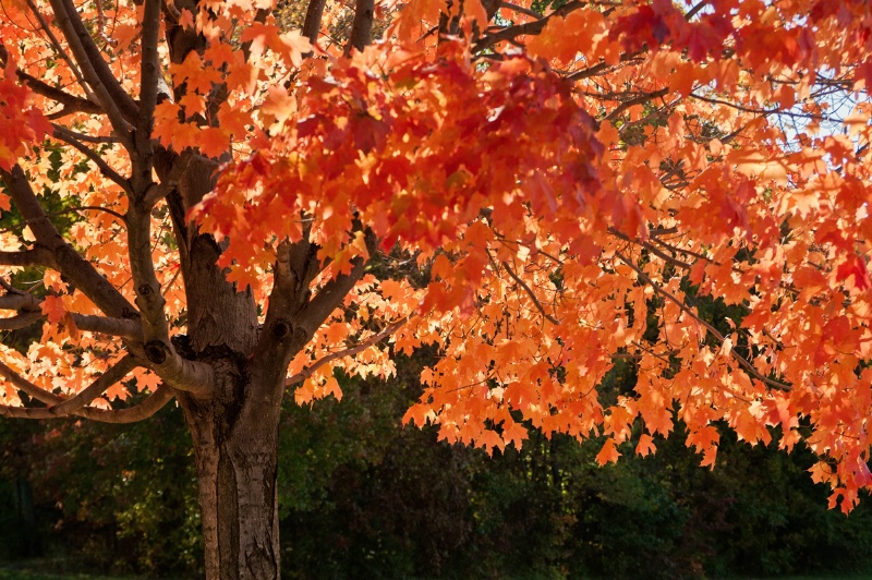 Boyds Lake Fall Tree