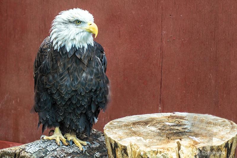 Bald Eagle at Pueblo Raptor Center