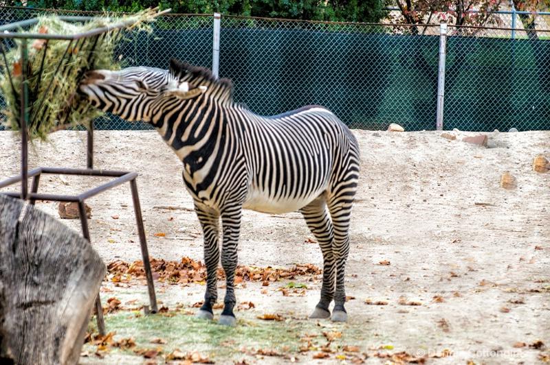 Zebra at Pueblo Zoo