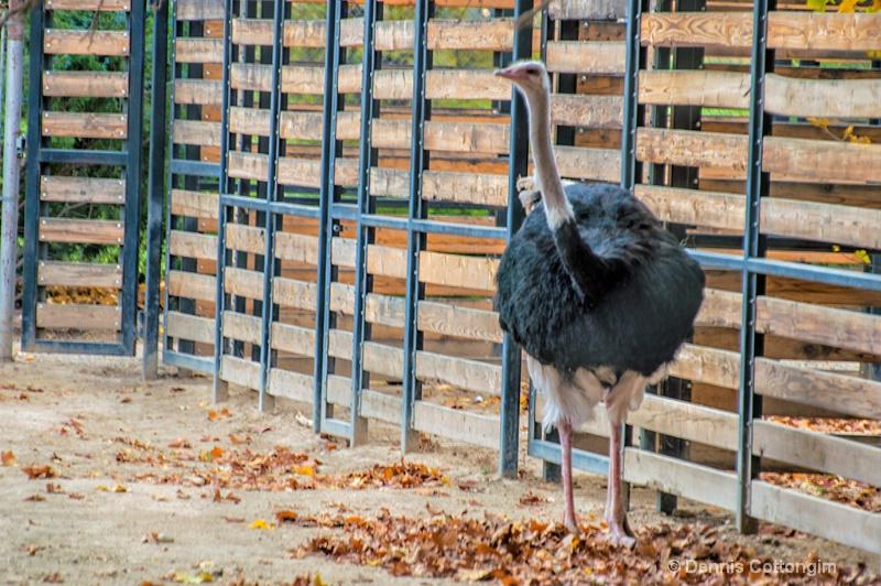 Ostrich at Pueblo Zoo