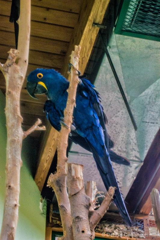 Hyacinth Macaw at Pueblo Zoo