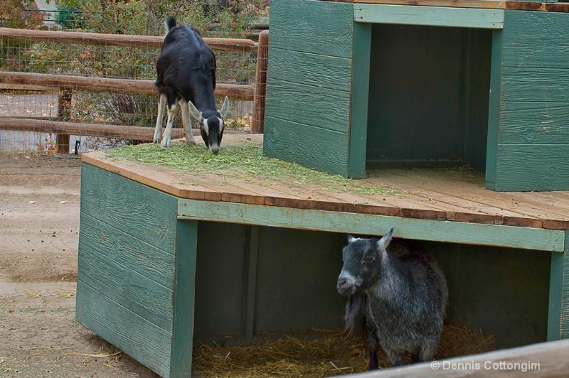 Sheep at Pueblo Zoo