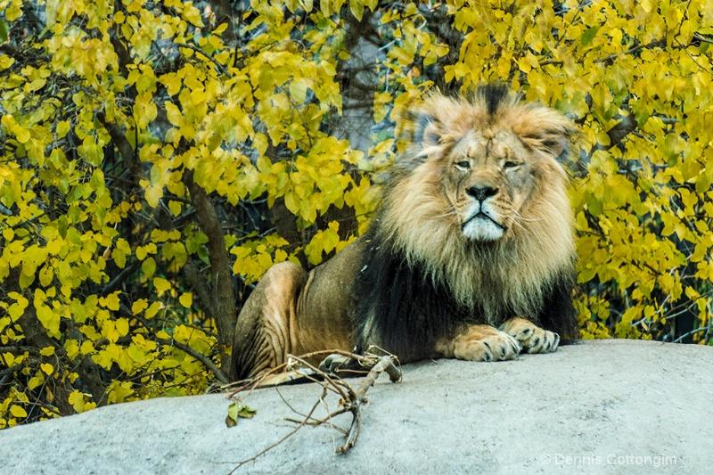 Lion at Pueblo Zoo