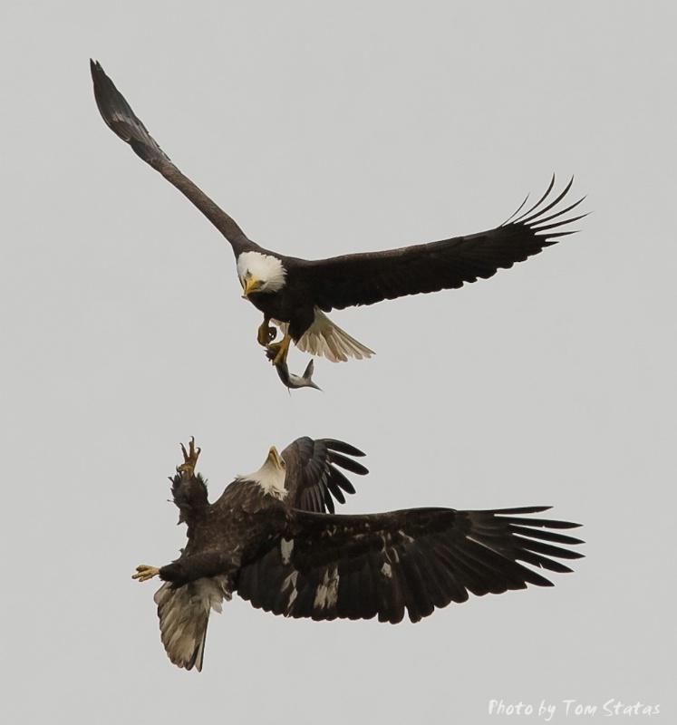 Eagles in F(l)ight