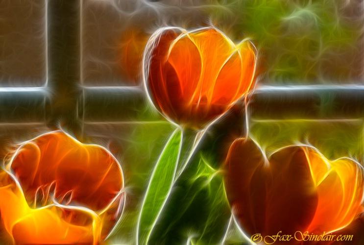 Tulips a Glow