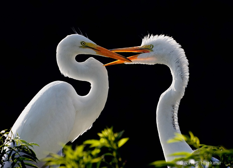 Juvenile Great egret begging food from mother