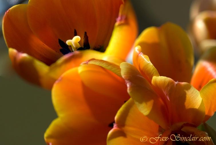 Tulip Gang