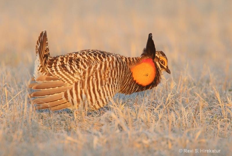 Prairie chicken mating display