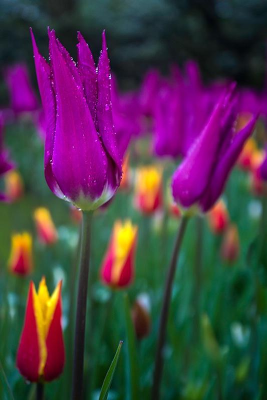 Rain Kissed Purple Tulip