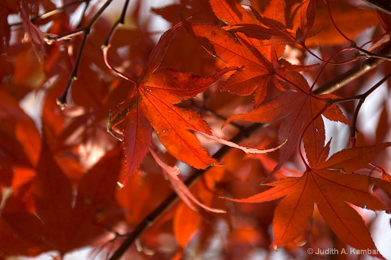 Backlit Japanese Maple Leaves