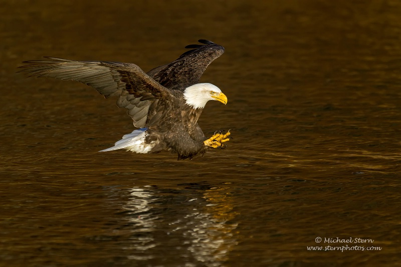 American Eagle Ready to Strike On Golden Pond