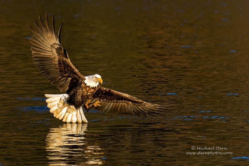 American Eagle On Golden Pond