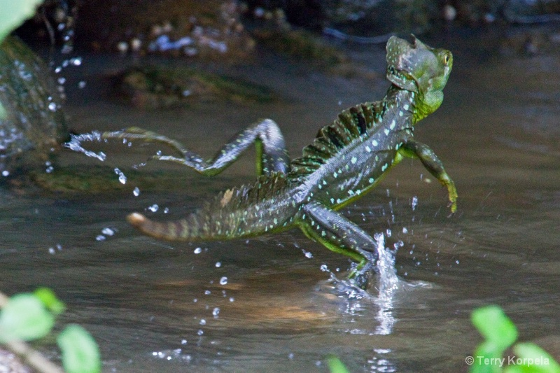 Jesus Christ Lizard (walks on water)