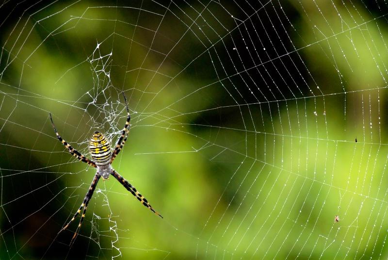 Spiderwen with spider
