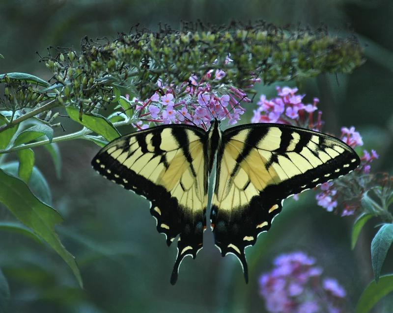 Swallowtail in Buddelia bush