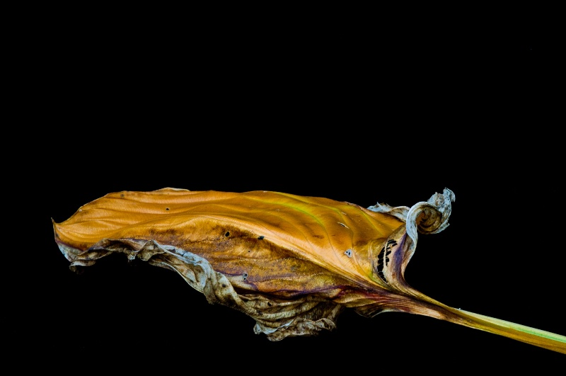 Hosta leaf #4