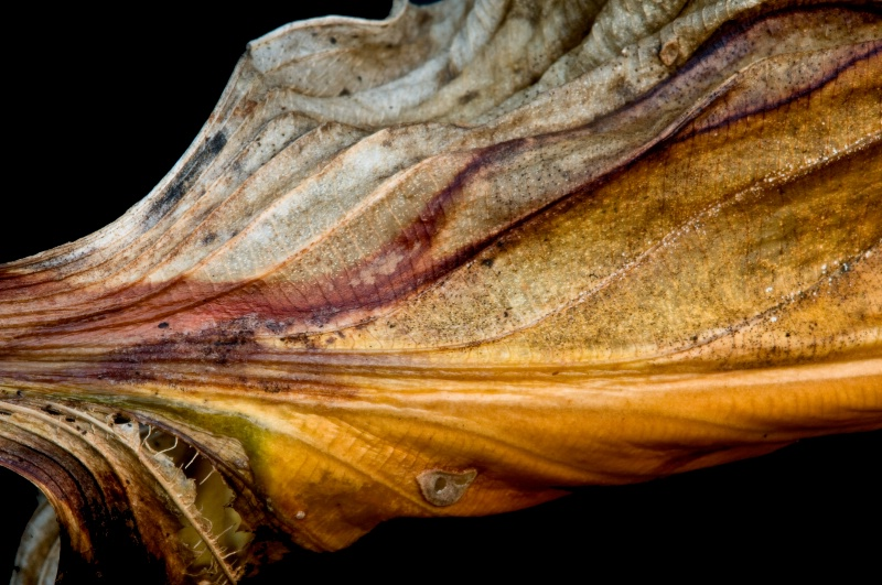 Hosta leaf #3