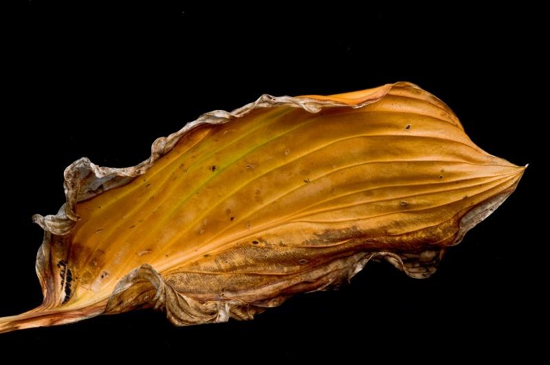 Hosta leaf #2