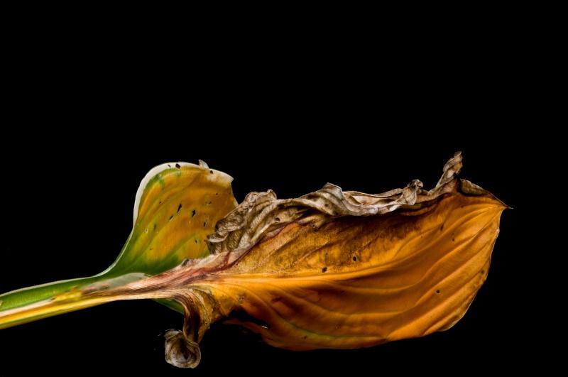 Hosta leaf #1