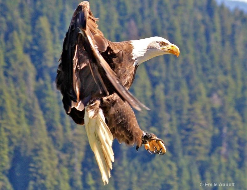 Canadian Great Bald Eagle in flight