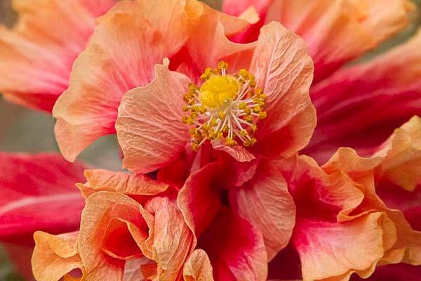 Hibiscus Furls