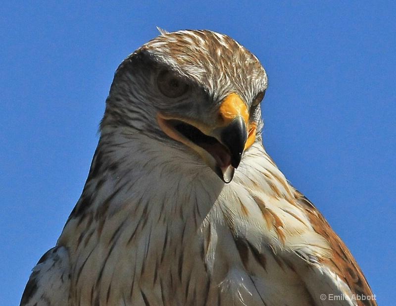Praire Hawk