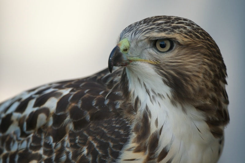 Portrait of a Red Tailed Hawk