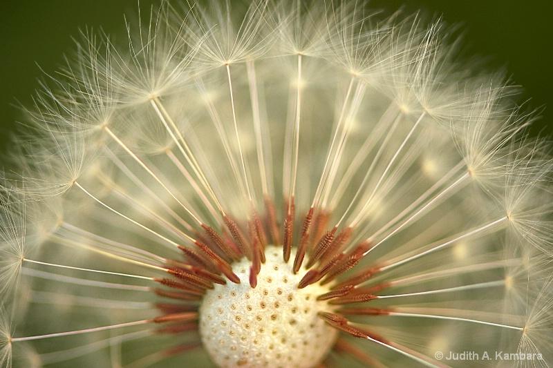 dandelion rising