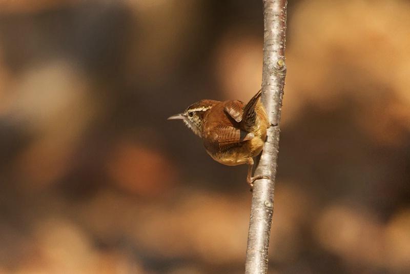 Carolina Wren on a Twig