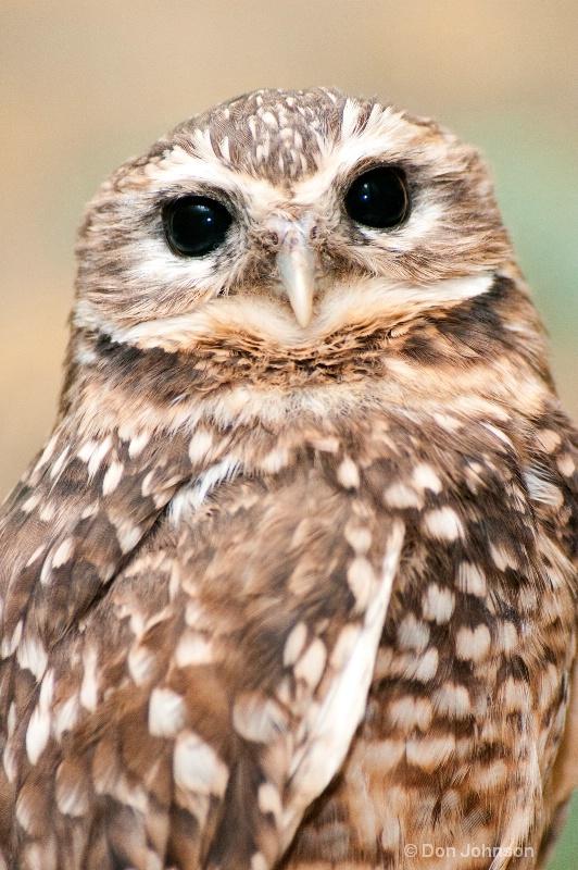 National Zoo Burrowing Owl