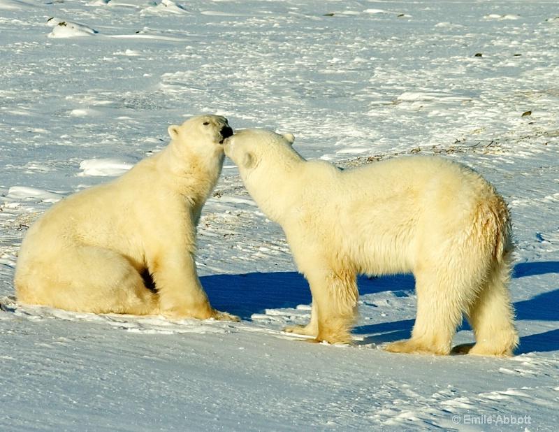 Polar Bear Love Story.